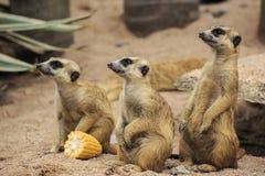 Wild meerkats Royalty Free Stock Photography