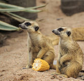 Wild meerkats Royalty Free Stock Photo
