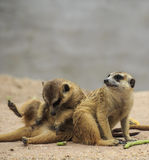 Wild meerkats Royalty Free Stock Photography