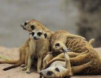 Wild meerkats Stock Image