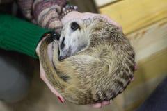 Wild meerkats sleep on the girl`s hands royalty free stock photography