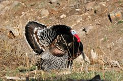 Wild Merriam Tom Turkey Strutting. Wild Tom Merriam Turkey Strutting and Displaying Colorful Feathers in the sunlight Royalty Free Stock Image