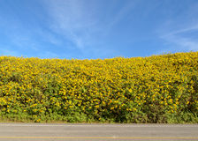 Wild mexican sunflower blooming mountain Royalty Free Stock Photography