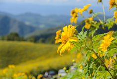 Wild mexican sunflower blooming moutain Royalty Free Stock Photos