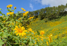 Wild mexican sunflower blooming moutain Stock Photo