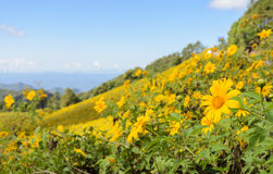 Wild mexican sunflower blooming moutain Royalty Free Stock Photo