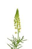 Wild mignonette (Reseda lutea). Colorful and crisp image of wild mignonette (Reseda lutea Stock Photos