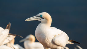 Wild migrating gannets in island Helgoland at sunset, Germany Stock Images