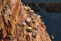 Wild migrating gannets in island Helgoland at sunset, Germany Royalty Free Stock Images