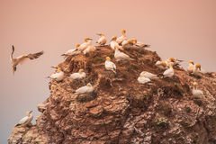Wild migrating gannets in island Helgoland at sunset, Germany Stock Image