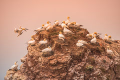 Wild migrating gannets in island Helgoland at sunset, Germany Stock Photography