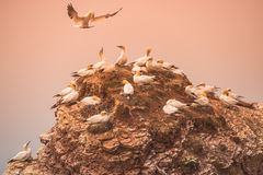 Wild migrating gannets in island Helgoland at sunset, Germany Royalty Free Stock Image