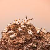 Wild migrating gannets in island Helgoland at sunset, Germany Stock Photos