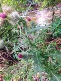 WILD MILK THISTLE PLANT, ECUADOR royalty free stock photos