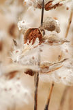 Wild Milkweed pods dried and floating away Stock Image
