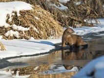 Wild Mink Stock Photo