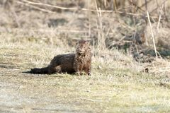 Wild Mink Royalty Free Stock Images