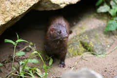 Wild mink (mustela vison). Stock Photo