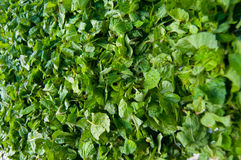 Wild Mint Royalty Free Stock Image