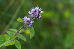 Wild mint flower Stock Images