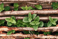 Wild mint growing through hazel sticks Stock Photo