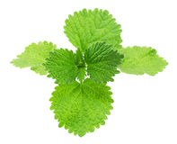Wild mint leaves closeup. Wild mint isolated on a white background Royalty Free Stock Photography