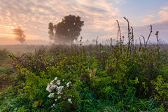 Wild misty meadow at dawn Stock Image