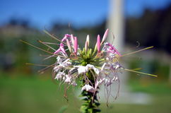 Wild Monarda fistulosa flower blossom in sunshine Royalty Free Stock Image