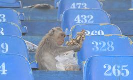 Wild mongkey living in stadium. Wild long tail monkeys eat junk food scraps from the football supporters in the stadium manahan, solo, Central Java, indonesia Royalty Free Stock Photography