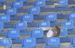 Wild mongkey living in stadium. Wild long tail monkeys eat junk food scraps from the football supporters in the stadium manahan, solo, Central Java, indonesia Royalty Free Stock Photos