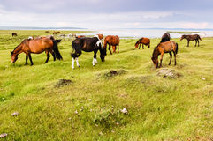 Wild Mongolian horses grazing. Herd of wild Mongolian horses grazing by Khovsgol Lake in northern Mongolia Stock Photography