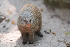 Wild mongoose Stock Image