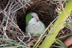 Wild Monk Parakeet stock photos