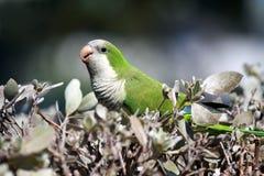 Wild Monk Parakeet royalty free stock images