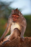 Wild monkey Stock Photography