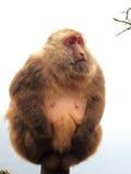 Wild monkey Stock Image