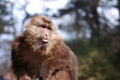 Wild monkey Royalty Free Stock Photos
