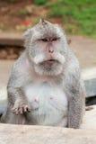 Wild monkey Royalty Free Stock Image