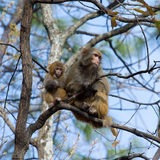 Wild monkey Royalty Free Stock Photography