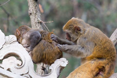 Wild monkey. Which from Xichang China Stock Photography
