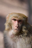 Wild monkey. Which from Xichang China Royalty Free Stock Photography