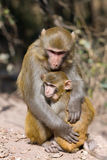 Wild monkey royalty free stock image