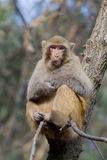 Wild monkey. Which from Xichang China Stock Photos
