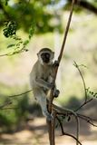 Wild monkey in Africa. City on a tree. African wildlife primate animal monkey stock photos