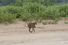 Wild monkey Africa field mammal animal Royalty Free Stock Photos