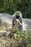Monkey eats banana in Africa wild nature forest. Wild monkey in Africa nature on the ground eats banana. African wildlife primate animal monkey stock photos