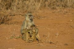 Baboon mother and baby family, Monkey in Africa wildlife. Wild monkey in Africa nature wildlife. African wildlife primate animal monkey Royalty Free Stock Images