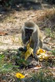 Monkey in Africa wildlife eat banana. Wild monkey in Africa nature wildlife. African wildlife primate animal monkey eat banana royalty free stock images