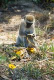 Monkey in Africa wildlife eat banana Stock Image
