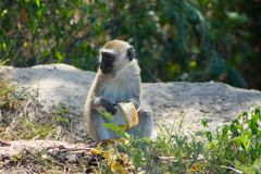 Monkey in Africa wildlife eat banana Stock Photo